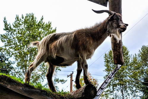 Goats on the Roof - The Old Country Market - Coombs, BC