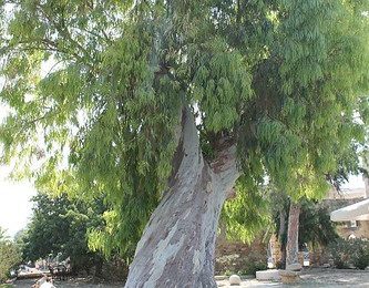 Old Tree, City Square, Walled City, Famagusta, Turkish Republic Of North Cyprus.